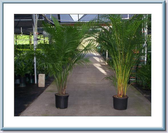 12Areca-and-12Majesty-2 Majesty Palm House Plant on majesty palm soil, majesty palm plant, majesty palm hedge, majesty palm fertilizer, majesty palm tree, majesty palm leaves, majesty palm flower, majesty palm family, majesty palm indoor,