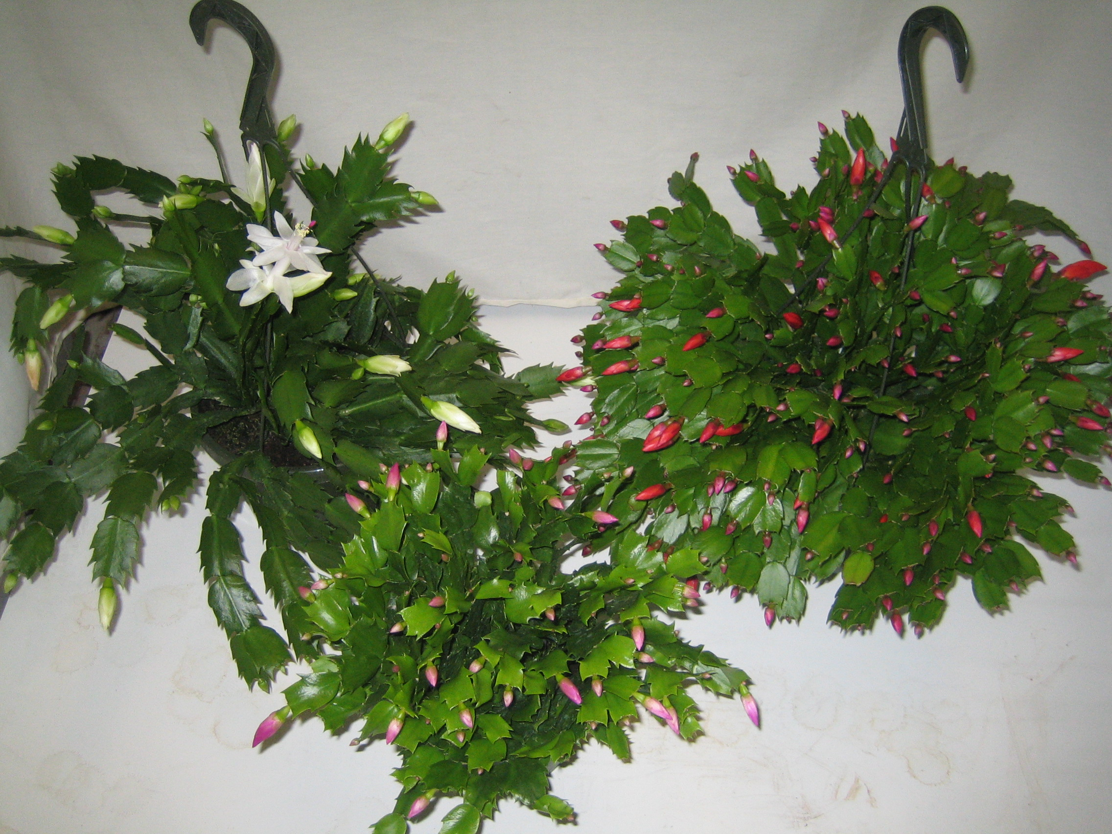 christmas cactus indoor or outdoor plant