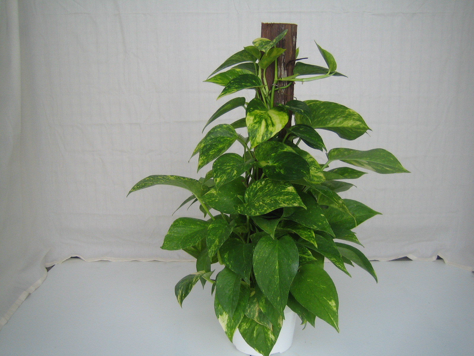 Golden Pothos Crooker 39 S Plant Master