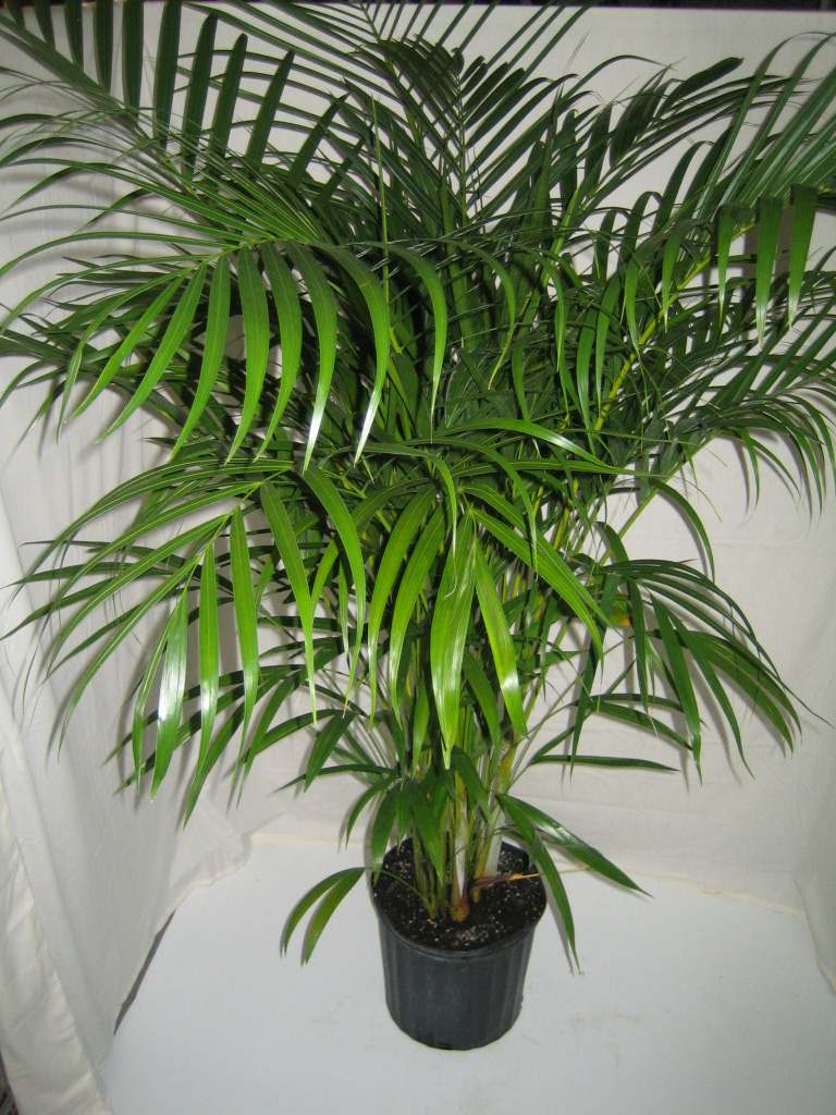 Areca palm crooker 39 s plant master for Pictures of areca palm plants