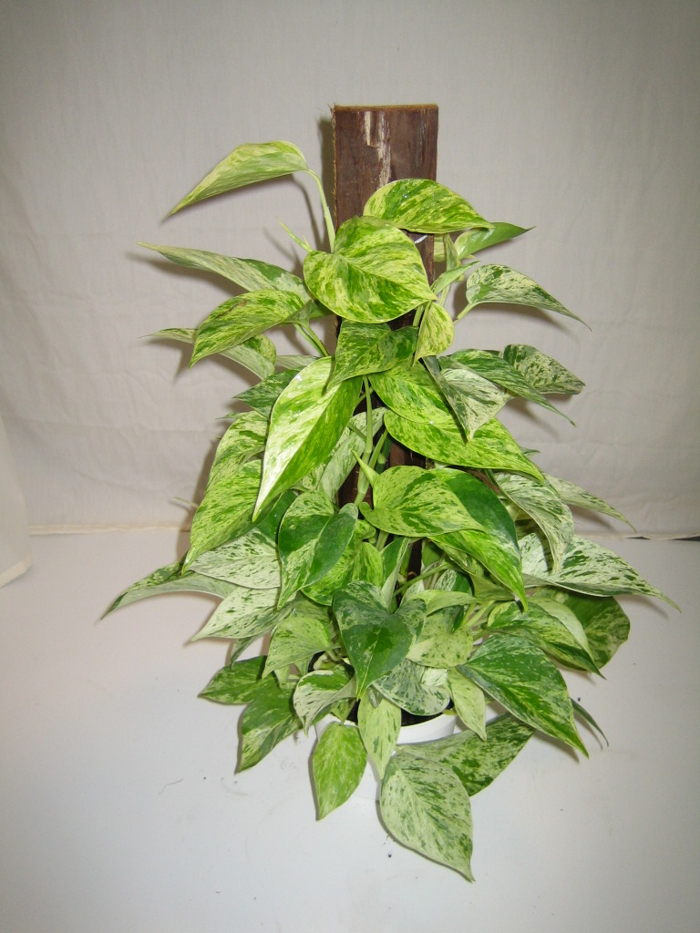 Marble Queen Pothos Crooker S Plant Master