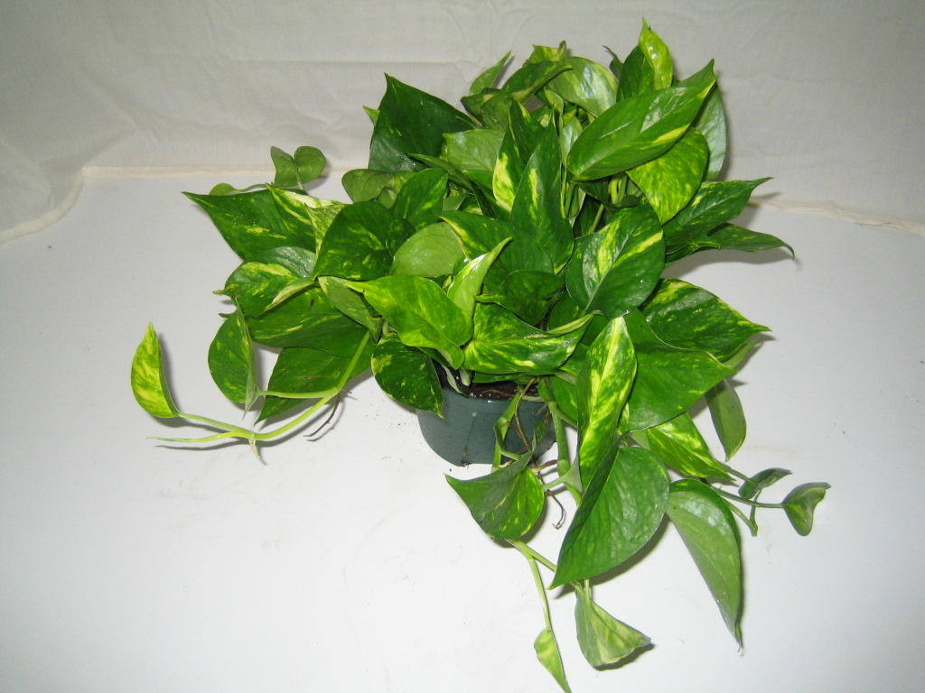 Golden Pothos Crooker S Plant Master