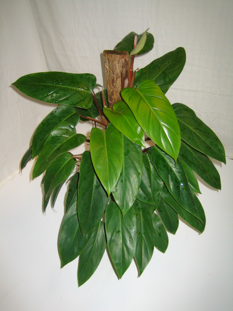 Golden Pothos Crooker S Plant Master