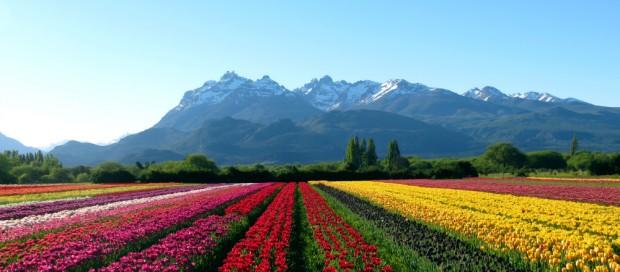 campo-tulipas-patagonia