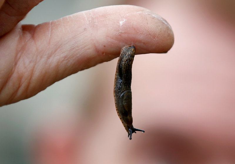 Slug Slime To Offer Base For New Surgical Glue, Propose Scientists