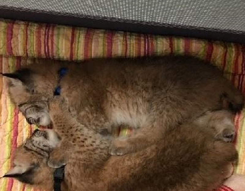 One person in custody relating to stolen lynxes case