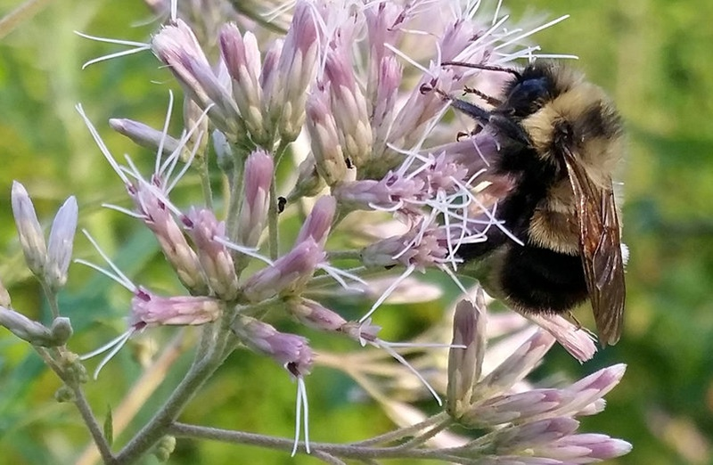 First US bumble bee added to endangered species list