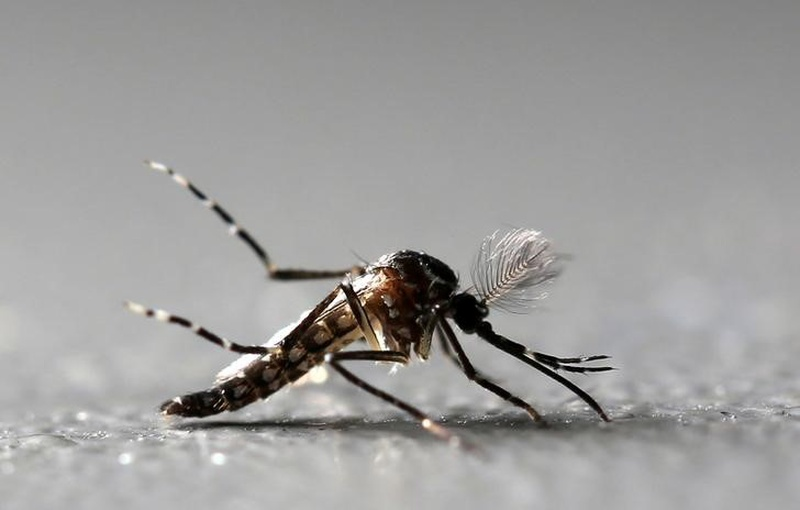 Zika mosquito may transmit dengue, chikungunya with one bite