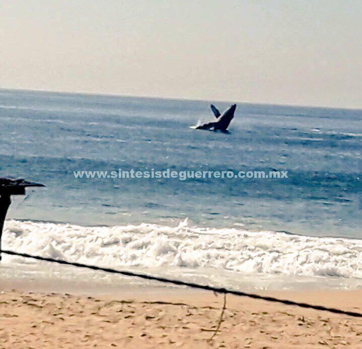 Verifica PROFEPA supuesto varamiento de ballena y su cría en Acapulco, Guerrero
