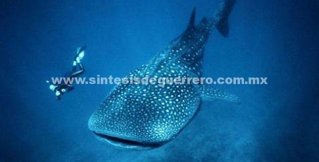 (Video) Tiburón ballena visto en la Isla La Roqueta de Acapulco