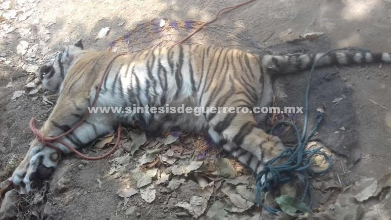 Atiende denuncia sobre muerte de tigresa abandonada en Cuyuca de Catalán