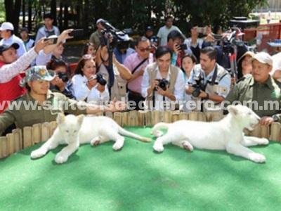 Nacen leones blancos gemelos en zoológico de Tlaxcala
