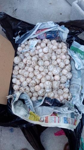 Coadyuva PROFEPA en la detención de una persona en posesión de 7,500 huevos de tortuga en carretera Acapulco-Pinotepa Nacional