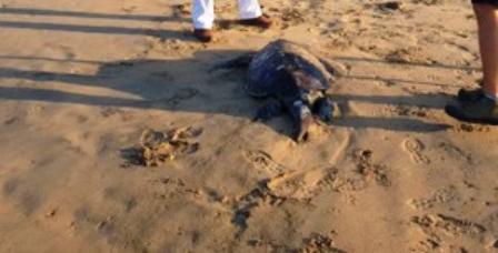 Documenta PROFEPA 101 tortugas muertas en costas de Guerrero