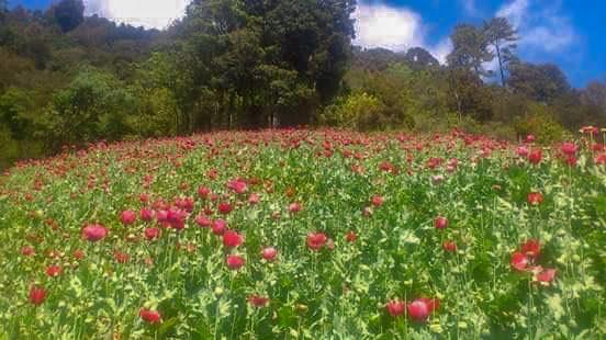 De $35 mil bajó a $2 mil el kilo de goma de opio