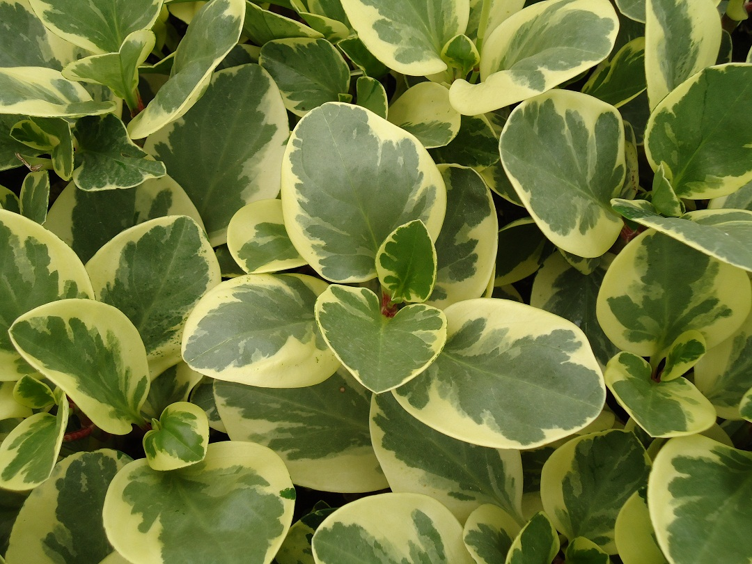 Peperomia Pictures And Updates South Florida Plant Services