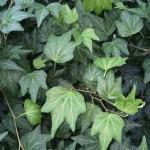 Ripple Ivy