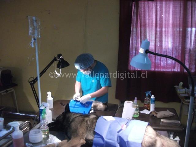comienzan-esterilizaciones-en-vallenar-3