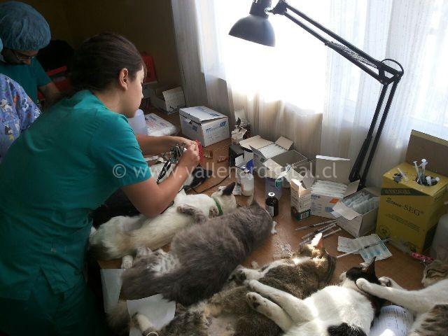 comienzan-esterilizaciones-en-vallenar-6