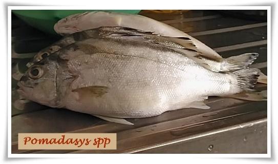 ikan gerut-gerut
