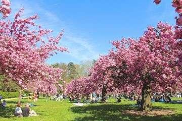 Hanami cerisiers parc de sceaux 1