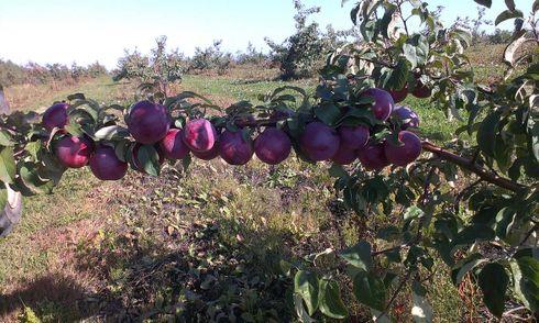 <p>У нашай краіне яблыкі любяць, таму ва ўсіх абласцях рэспублікі высаджваюць яблыневыя сады. Селекцыянеры вывелі гатункi яблынь спецыяльна для сваіх зямель, рознага тэрміну паспявання і з разнастайным густам. Яблыневы сад цешыць вока і ў пару цвіцення, і ў перыяд паспявання пладоў. Яблыкі трэба збіраць асцярожна і акуратна складваць іх у скрыні, каб пазбегнуць пашкоджання пладоў. А збіраюць іх пры дапамозе розных прыстасаванняў для збору яблыкаў. Ураджай вывозяць з саду на захоўванне ў спецыяльныя сховішчы.</p>