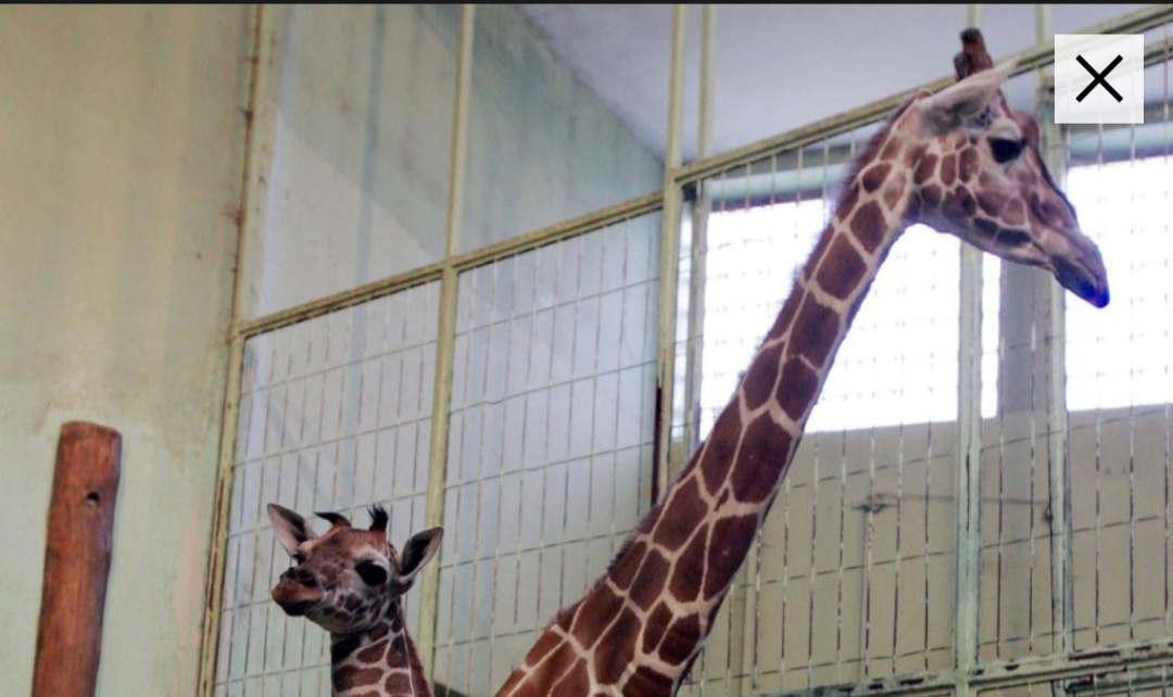 frankfurt_am_main_giraffe_monique_im_frankfurter_zoo_eingeschlfert5065_10_10_2019