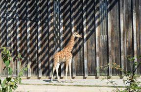 <p>Girafes, lions, tous sans cages. Zèbres et taureaux derrière un lac avec des canards. Partout un très beau paysage. Et les cerfs paissent généralement librement sur un immense champ!</p>