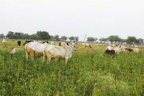 <p>कदौरा ब्लाक क्षेत्र के ग्राम काशीरामपुर में अन्ना जानवरो ने किसानो की नाक में दम कर दिया है&nbsp;। शनिवार के दिन अन्ना जानवरों ने एक बार फिर मौका देख कृषको के खेतो में घुस गए और क्षेत्र के कई किसानों की बाजरे की खड़ी फसल को चर लिया। किसानो ने फसल के चरे जाने पर आक्रोश व्यक्त किया। आक्रोशित किसानों ने अनदेखी का आरोप लगाते हुए मुआबजे की मांग की है।</p><p>जयादा बारिस से ख़राब हुई फसल की मार झेल रहे किशानो की परेशानी कम होने का नाम नहीं ले रही ।कदौरा के काशीरामपुर गांव के किसान हरचरण, पंचम पाल, सुरेश राजपूत, वीरसिंह सहित आधा दर्जन से अधिक किसानों की 20 बीघा फसल को अन्ना जानवरों ने चट कर लिया।किसानों का कहना है कि उनके खेतों में बाजरे की फसल थी। शनिवार रात अन्ना जानवरों ने खेत में घुस कर फसल नष्ट कर दी, जबकि कृषक दिन रात अन्ना जानवरों से खेतो की रखवाली करने में लगे रहते है, लेकिन नजर चूकते ही अन्ना जानवर खेतो में घुस जाते है और फसल ख़राब कर देते है । गांव में अन्ना जानवरो की संख्या दो सौ से भी अधिक है जो अक्सर मौका पाकर खेतो में घुस जाते है और हमारी फसल नष्ट कर देते है।उनका कहना है कि गांव में अस्थायी गौशाला भी है, उसमें न तो जानवर रखे जाते है और न कोई देखने वाला। इन जानवरो के स्वामियों को भी को भी अवगत कराया है पर किसी ने भी सुध नहीं ली। कृषको में फसल चरे जाने पर काफी आक्रोश व्याप्त है ।</p><p>बीडीओ अतिरंजन सिंह ने बताया कि मामले की जानकारी के लिए सचिव को गांव भेजा जा रहा है, फसलों की बर्बादी का सर्वे किया जायेगा और कृषको की हर सम्भव मदद की जाएगी । उन्होंने ऐसे पशुपालकों को चिह्नित करने के निर्देश दिए हैं, जो अपने जानवरों को अन्ना छोड़ रहे हैं। जिस कारण अन्ना पशु खेतो में जा कर फैसले नष्ट कर देते है।</p>