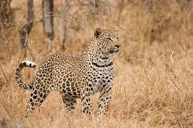 <p>Two leopards injured a young man who was defecating in the field at Sadar Beat in the Katarniaghat range under the Katerniaghat Protected Forest area. The man has been admitted to the Community Health Center in critical condition where he is undergoing treatment.</p>