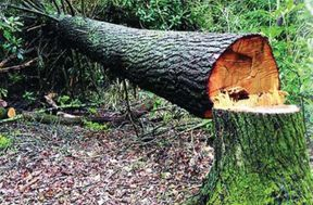 <p>Illegal harvesting of 50-year-old trees, endorsement of 2 lakh trees every month</p>