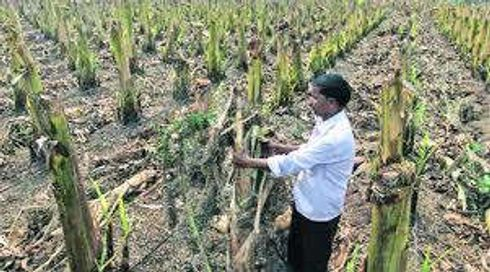 <p>Due Heavy Rain and Hail Storm in some districts of Maharashtra crops got damaged and farmers are getting tensed by this damage and Untimely rain and hail storm.</p>