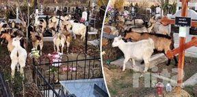 <p>Видео изображения были сняты свидетелем и отправлены в отдел новостей. Из видео вы можете увидеть, как козы забираются на могилы мертвых и питаются травой и сухими цветами. Со слов свидетеля, приславшего нам изображения, еще не понятно, кто является хозяином коз, учитывая, что они гуляли одни среди могил. С нами связались представители каналов и сообщили, что в этом случае никаких жалоб или жалоб зарегистрировано не было. Отметим, что кладбище Святого Лазаря в Кишиневе является крупнейшим кладбищем в Европе, его площадь насчитывает более двух тысяч квадратных километров. Он распространяется на сто семь га. Напоминаем, что это не первый случай, когда козлов ловят на кладбище Святого Лазаря. Аналогичный случай произошел в декабре две тысячи восемнадцатого года.</p>