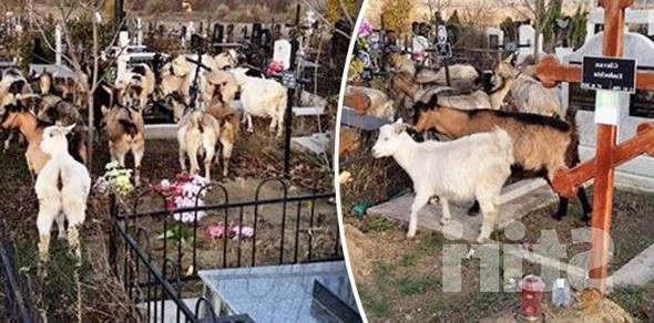 <p>Видео изображения были сняты свидетелем и отправлены в отдел новостей. Из видео вы можете увидеть, как козы забираются на могилы мертвых и питаются травой и сухими цветами. </p><p>Со слов свидетеля, приславшего нам изображения, еще не понятно, кто является хозяином коз, учитывая, что они гуляли одни среди могил. С нами связались представители каналов и сообщили, что в этом случае никаких жалоб или жалоб зарегистрировано не было. Отметим, что кладбище Святого Лазаря в Кишиневе является крупнейшим кладбищем в Европе, его площадь насчитывает более двух тысяч квадратных километров. Он распространяется на сто семь га. </p><p>Напоминаем, что это не первый случай, когда козлов ловят на кладбище Святого Лазаря. Аналогичный случай произошел в декабре две тысячи восемнадцатого года.</p>
