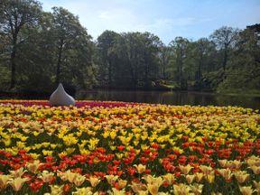 """<p class=""""ql-align-justify""""><span style=""""color: rgb(51, 51, 51);"""">Парк находится в небольшом городе Лиссе, между Амстердамом и Гаагой. История создания парка такова: одна графиня, живя в своем замке, очень любила когда ей к столу подавали свежесобранные овощи, фрукты и травы. И в связи с этим в перерывах между своими замужествами,(замужем мадам была 4 раза, и это только официальная версия) основала небольшой сад-огород на территории охотничьих угодий вокруг замка. Переводится Кекенхоф, как """"сад для кухни"""".</span>Каждый год парк цветов открывается только на два месяца, с середины марта до середины мая. <span style=""""color: rgb(51, 51, 51);"""">Несмотря на всего два месяца работы,каждый год парк посещают до миллиона туристов. Каждый год, 24 садовника высаживают 7 миллионов луковиц, создавая диковинные композиции.</span></p><p><br></p>"""