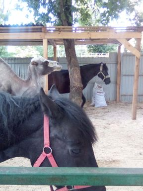 Новосибирск. Прогулка по Парку имени Кирова. Контактный Зоопарк. Приятная Летняя погодка ☺️  Милые животные: поросятки, лошадки, и даже верблюд!