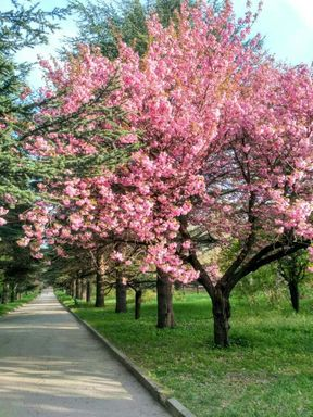 <p>Сакура – традиционный символ японской культуры. Десятки тысяч туристов ежегодно прибывают в Японию ради того, чтобы увидеть цветение этого удивительного дерева. А знаете ли Вы, что полюбоваться этим чудом можно и в нашей стране?</p><p>Своя аллея сакур есть в столице Крыма, Симферополе! И каждый год, примерно в конце апреля – начале мая, она буквально утопает в цветах! Нежно-розовые, воздушные облачка соцветий, подсвеченные солнечными лучами, окутывают  изящные кроны деревьев, а земля вокруг укрыта сотнями лепестков - и они продолжают потихоньку осыпаться, будто среди весны идет снегопад! Красота и волшебство этого зрелища поистине завораживают! Так, что увидев один раз - в следующем году непременно хочешь побывать здесь снова!</p><p>Аллея сакур – достопримечательность не только для симферопольцев, посмотреть&nbsp;на цветение «гостей из Японии» приезжают издалека, из многих городов России! </p><p>Взгляните и Вы!</p>