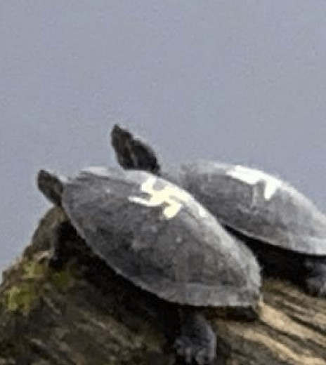 """<p>The authorities have taken in two turtles for rehabilitation after someone painted swastikas on their shells. The turtles were spotted in Gene Coulon Memorial Beach Park in Renton, which is a suburb in Seattle. The Renton Police Department said that they received numerous calls from the visitors in the park who found the difficult paint job.&nbsp;</p><p>Anne-Marie Desiderio, who was one of the visitors in part, said that it was a horrifying visual for her. The police department posted on Facebook on November 5th and pointed out that they know about the animals, and they are trying to locate them. The animal control officers finally found the animals and took them for rehabilitation and then shifted to a safer environment. After the incidents, the anti-hate organizations held a """"Rally Against Hate"""" in the park.</p><p><br></p><p><br></p>"""