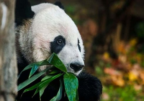 <p>Bei Bei, the beloved giant Panda, will leave DC National Zoo and head towards China. Tuesday will be the last day for him in the Zoo. According to the agreement between the Chinese government and National Zoo, any Panda who reach the age of 4 has to be returned to their native land of China. Panda will now live under the supervision of the China Wildlife Conservation Association. Most of the giant pandas under human care are in China. National Zoo had a huge event to say goodbye to their beloved panda. The locals poured in to have a last look at the Panda. The staff at the zoo compiled a list of their favorite moments with Bei Bei, like his first steps or his first food. He will ride on a FedEx B777 aircraft to Chengdu, China.</p><p><br></p><p>&nbsp;&nbsp;</p><p><br></p>