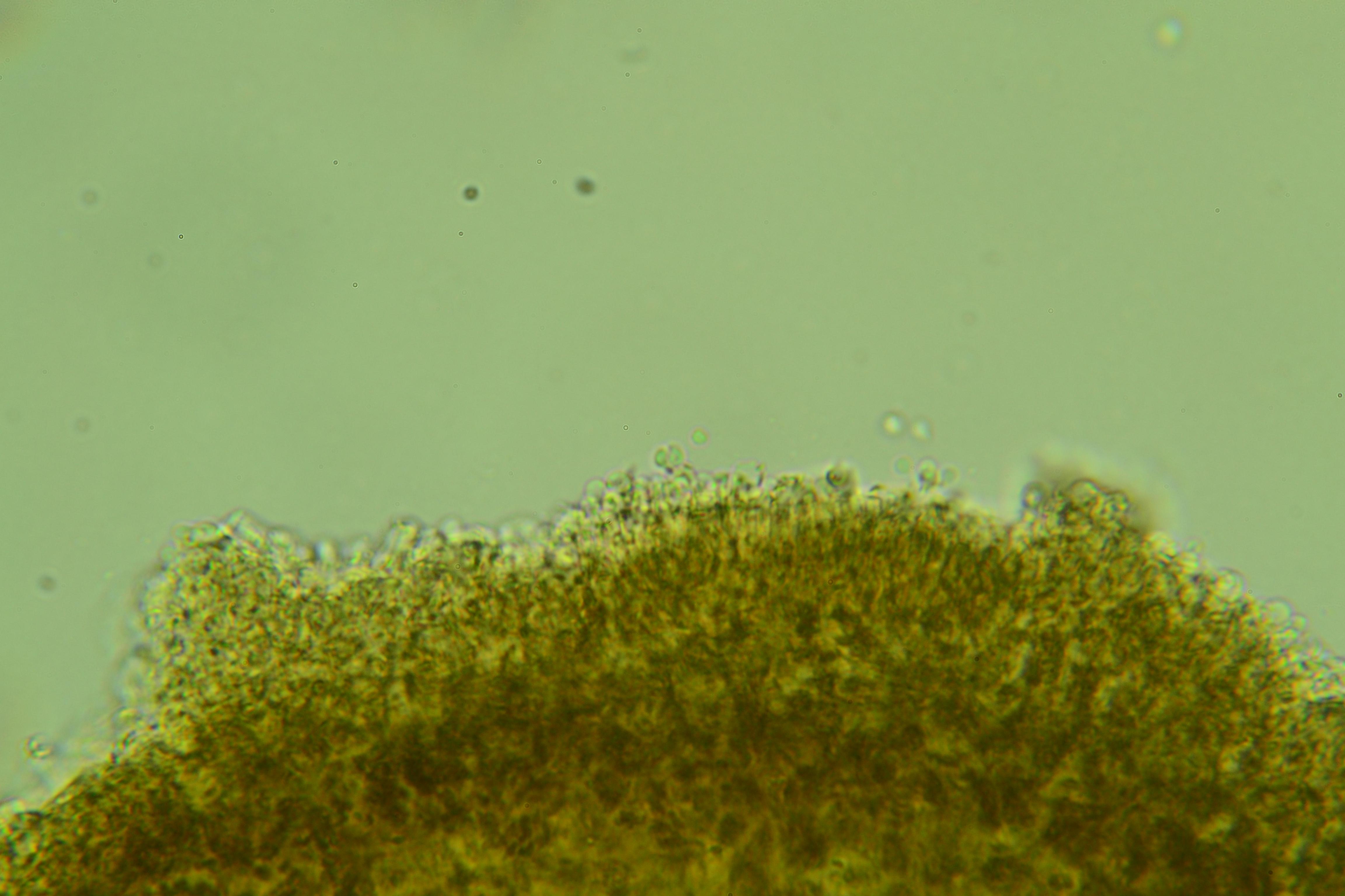 Hygrocybe deceptiva image