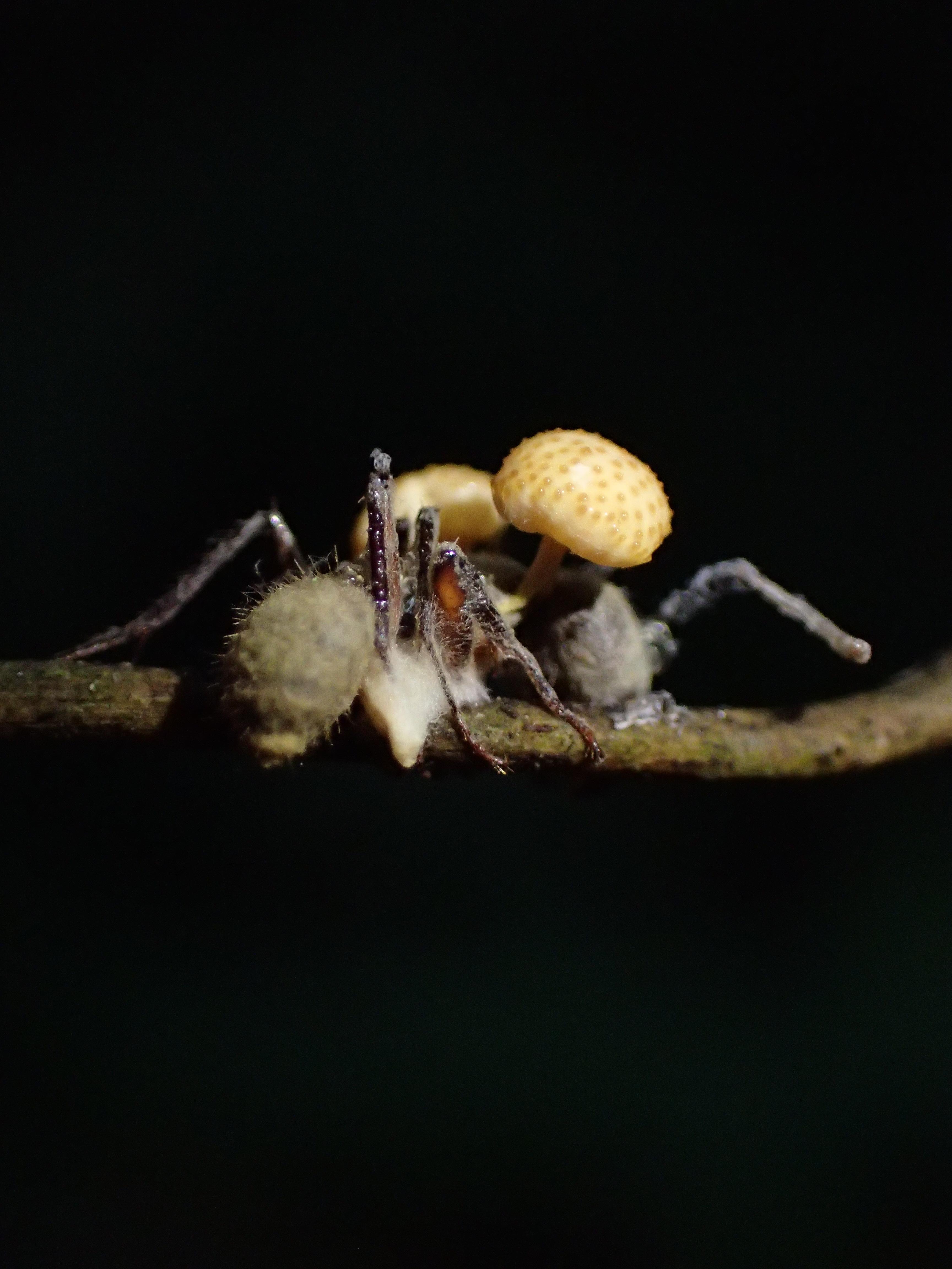 Ophiocordyceps lloydii var. binata image