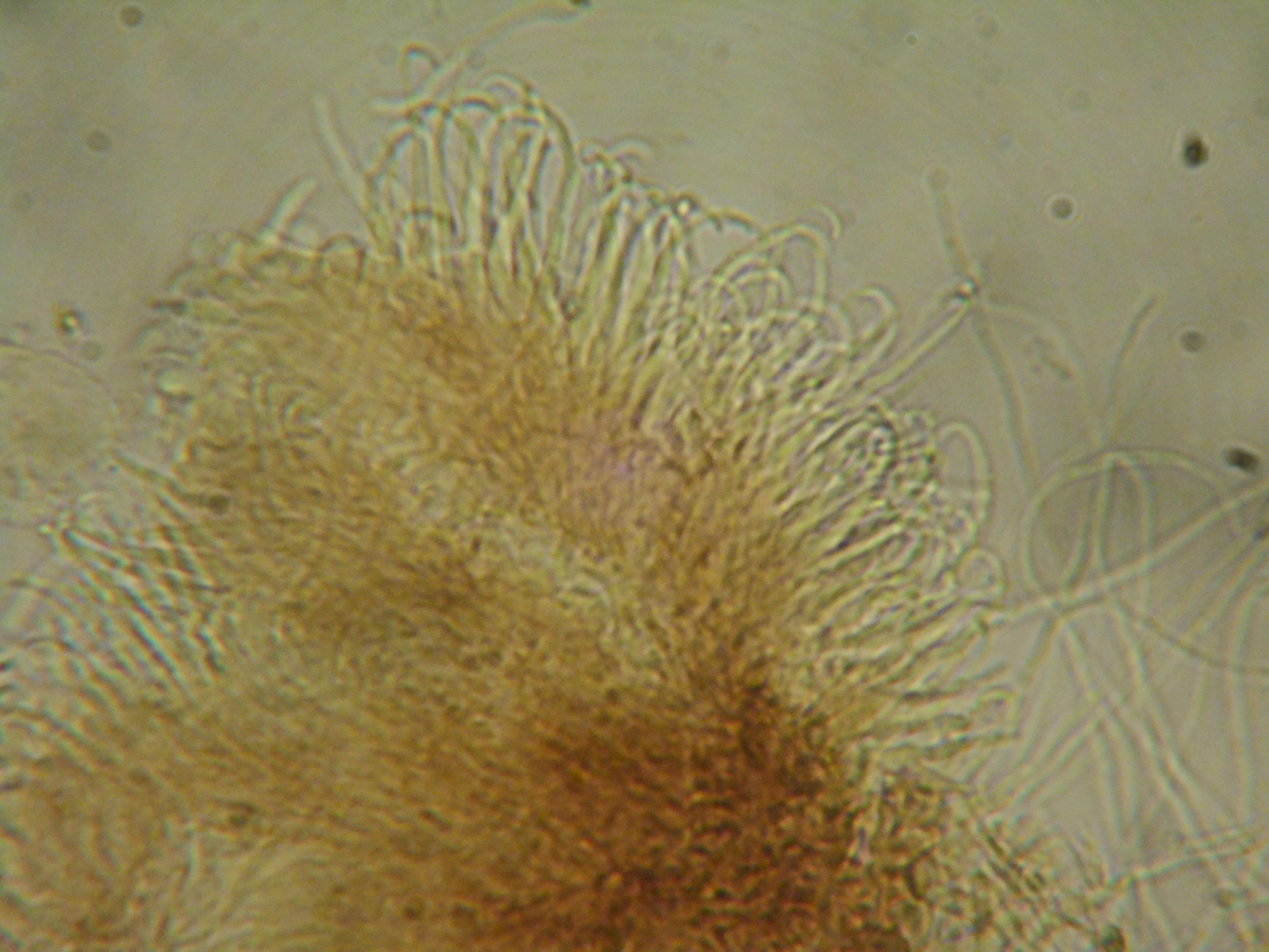 Unguiculariopsis parasitica image