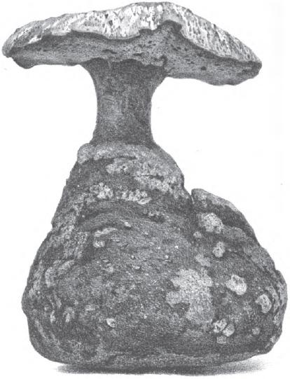 Laccocephalum basilapidoides image