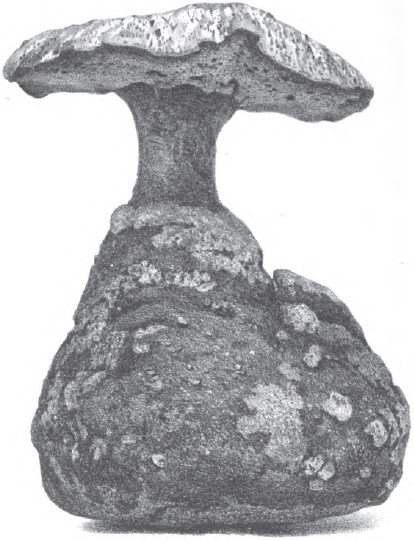Laccocephalum image