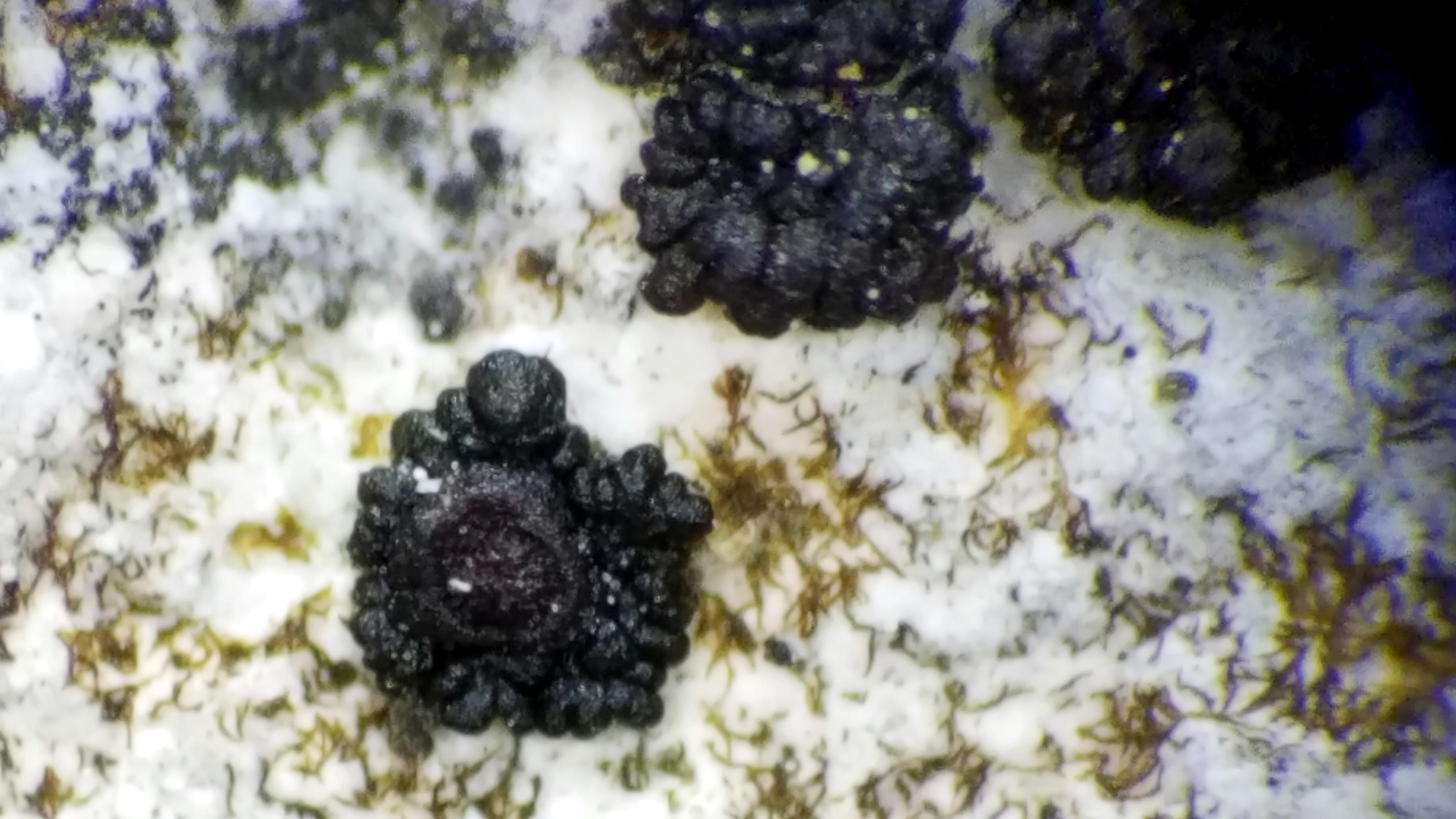Leptogium biatorinum image