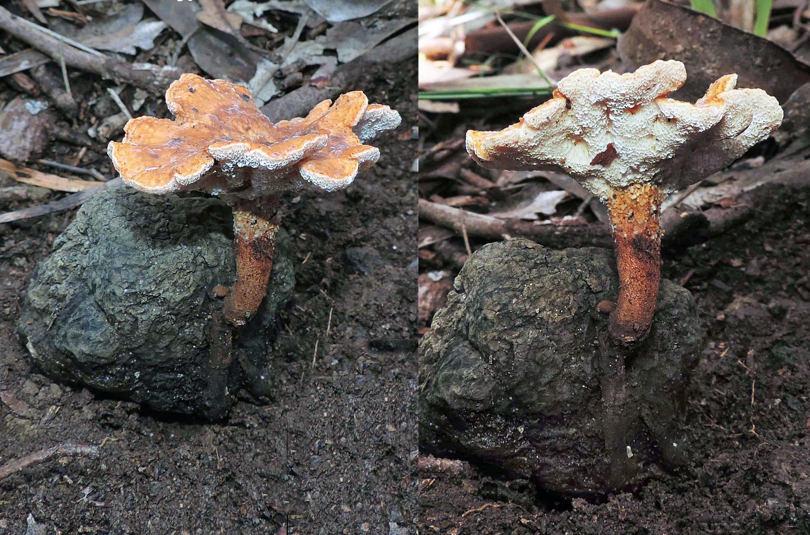 Laccocephalum tumulosum image