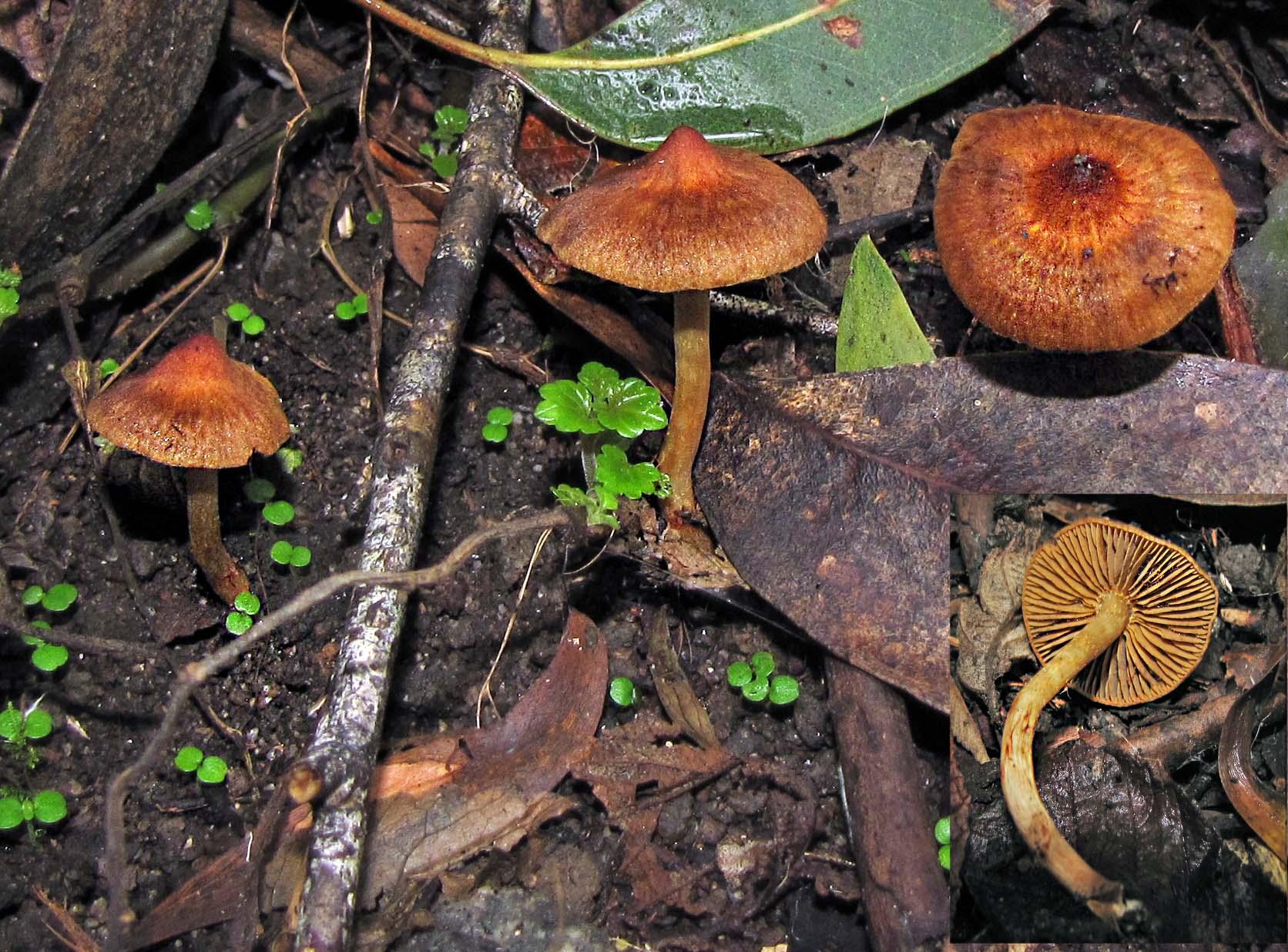Cortinarius mastoideus image