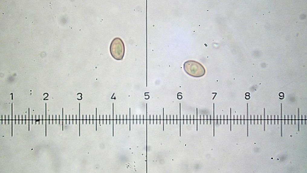 Pholiota aurantioflava image