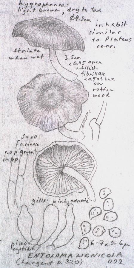 Entoloma lignicola image