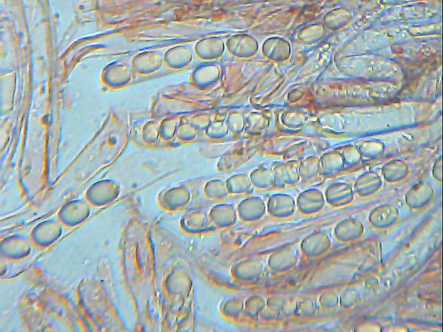 Helvella palustris image